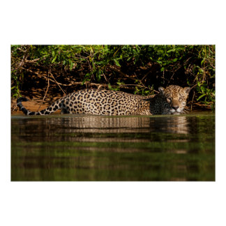 Jaguar, das ein Schwimmen anstrebt Poster