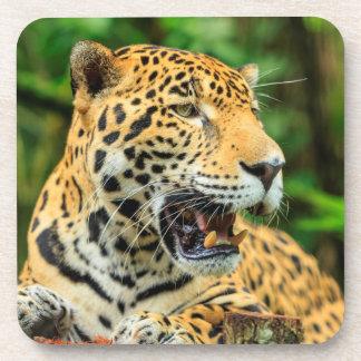 Jaguar zeigt seine Zähne, Belize Untersetzer