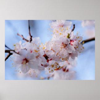 Japanische Aprikosen-Blüte Poster