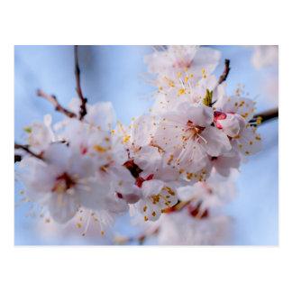Japanische Aprikosen-Blüte Postkarte