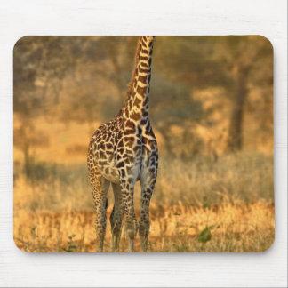 Jugendliche Giraffe, Giraffa camelopardalis Mauspads