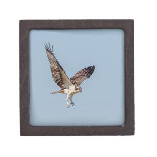 Jugendlicher Osprey im Flug Schachtel