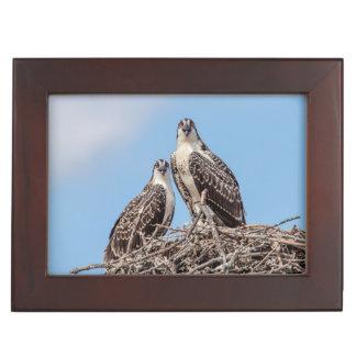 Jugendlicher Osprey im Nest Erinnerungsdose