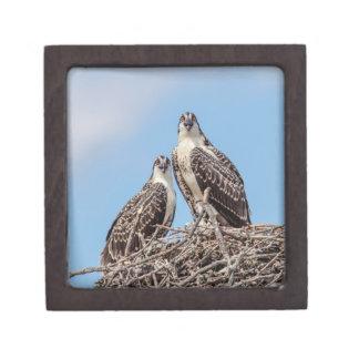 Jugendlicher Osprey im Nest Kiste