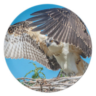Jugendlicher Osprey im Nest Melaminteller