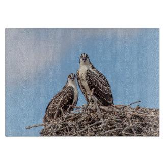Jugendlicher Osprey im Nest Schneidebrett