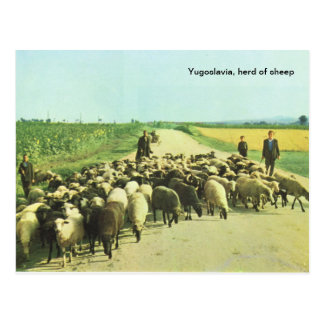 Jugoslawien, Herde der Schafe Postkarte