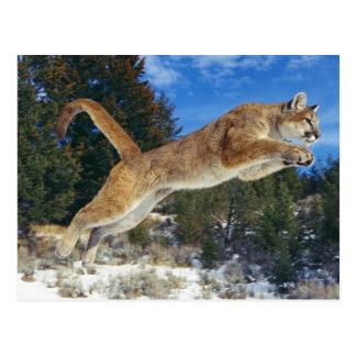 Jumping Cougar Postkarten