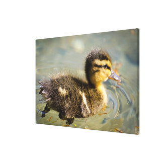 Junge Baby-Ente Leinwanddruck