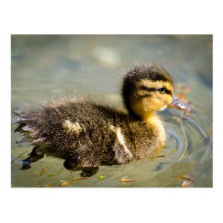 Junge Baby-Ente Postkarte