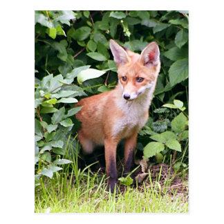 Junger Fox 1 Postkarte