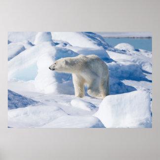 Junger männlicher Eisbär Poster