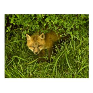 Junger roter Fox, der vom Verstecken in den Postkarte