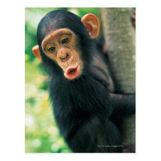 Junger Schimpanse (Pantroglodytes) Postkarten