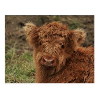 Junger schottischer Hochländer Postkarte