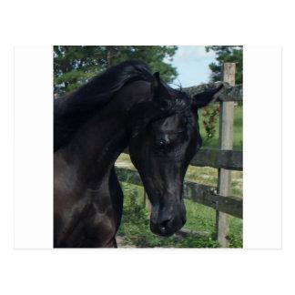 Junger schwarzer arabischer Stallion Postkarte