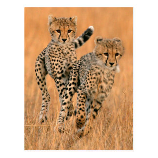 Junges Laufen der Gepard-(Acinonyx Jubatus) Postkarte