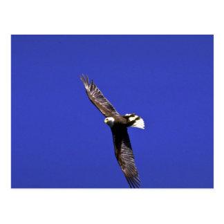 Kahler Adler darstellend Flügel-über in vollem Postkarten