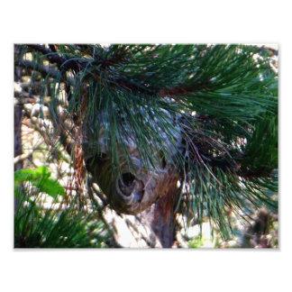 Kahles Gesichts-Hornissen-Nest Fotodruck