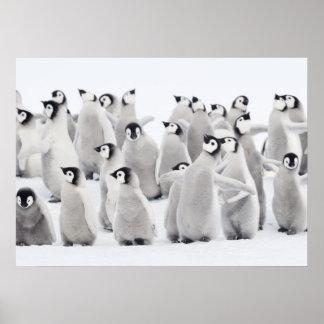 Kaiser-Pinguin (Aptenodytes forsteri), Gruppe von Poster