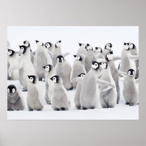 Kaiser-Pinguin (Aptenodytes forsteri), Gruppe von Posterdruck