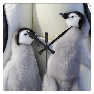 Kaiser-Pinguin-Küken Quadratische Wanduhr