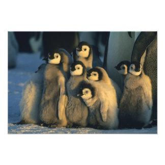 Kaiser-Pinguinküken in der Kinderkrippe, Aptenodyt Fotos