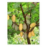 Kakaobaum Postkarte