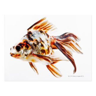 Kalikofantail-Kometen-Goldfisch Postkarte