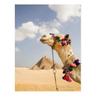 Kamel mit Pyramiden Giseh, Ägypten Postkarten