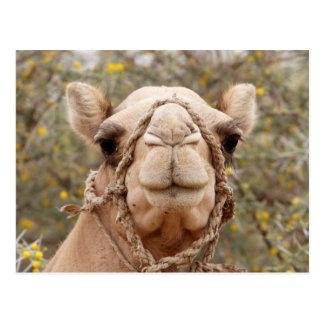 Kamel Postkarten