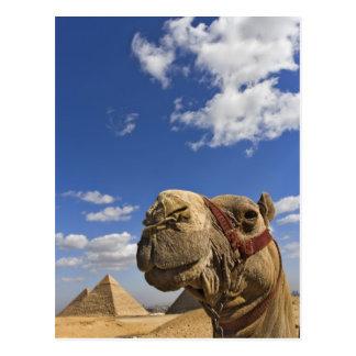 Kamel vor den Pyramiden von Giseh, Ägypten, Postkarte