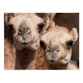 Kamele am Kamelmarkt in Al Ain nahe Dubai Postkarte