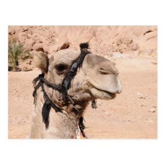Kamele in der Wüste an St. Catherine Postkarte