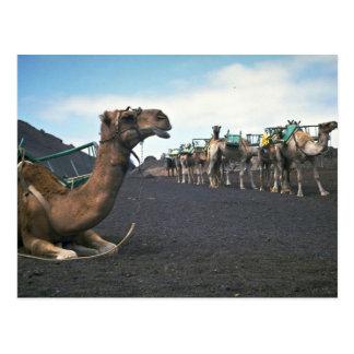 Kamele, Lanzarote Postkarte