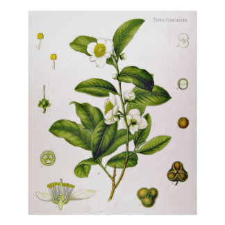 Kamelie Sinensis Thea Sinensis Tee-Baum-Plakat