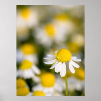 Kamillen-Blumennahaufnahme, Ungarn Poster