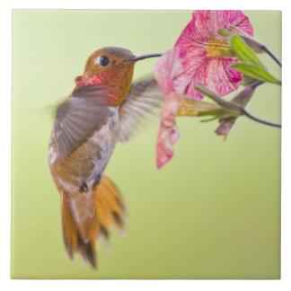 Kanada, Britisch-Columbia, Rufous Kolibri Große Quadratische Fliese