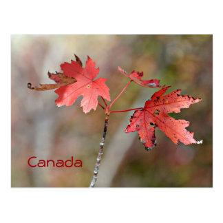 Kanada-Postkarte - Ahorn-Blätter Postkarte