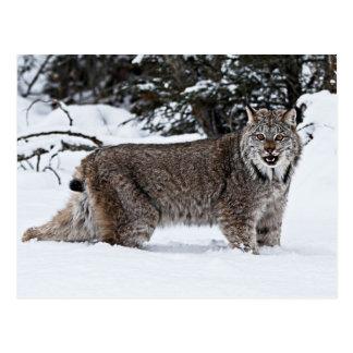 Kanadischer Luchs im Schnee Postkarte