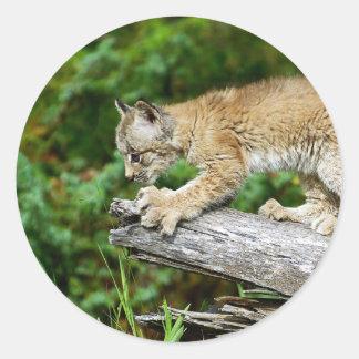 Kanadisches Luchs-Kätzchen bereit sich zu stürzen Runder Aufkleber