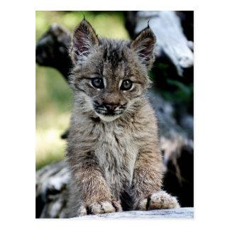 Kanadisches Luchs-Kätzchen Postkarte