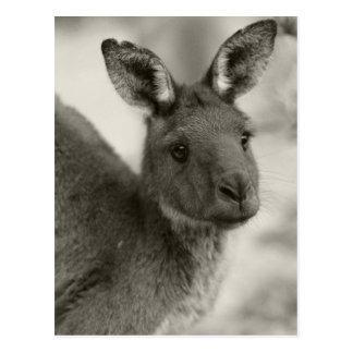 Känguru an Warrawong Schongebiet Südaustralien Postkarte