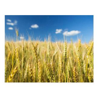 Kansas-Weizen Postkarte