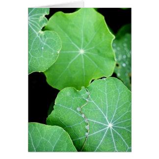 Kapuzinerkäse-Blätter mit Wasser-Tropfen Karte