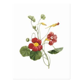 Kapuzinerkäse (Tropaeolum majus) durch Redouté Postkarte