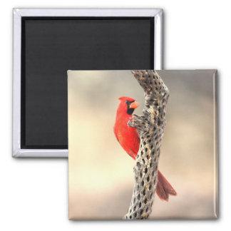 Kardinal auf einem Cholla Quadratischer Magnet