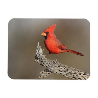 Kardinal auf einer cholla Rippe Magnet