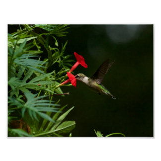 Karminrotes Throated Mittagessen Poster