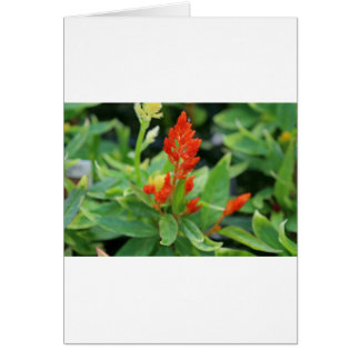 Karotte Salvia Karte
